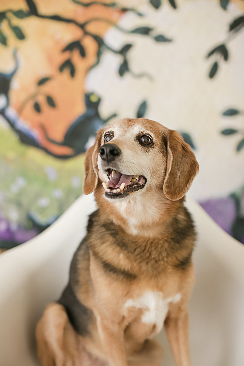 studio dog photography, Beagle mix sitting in chair, Philadelphia pet photographer, April Ziegler Photography