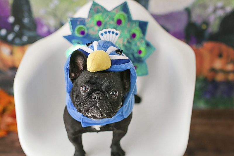 Halloween costumes for dogs, Frenchie wearing peacock costume | Philadelphia pet photographer, April Ziegler Photography