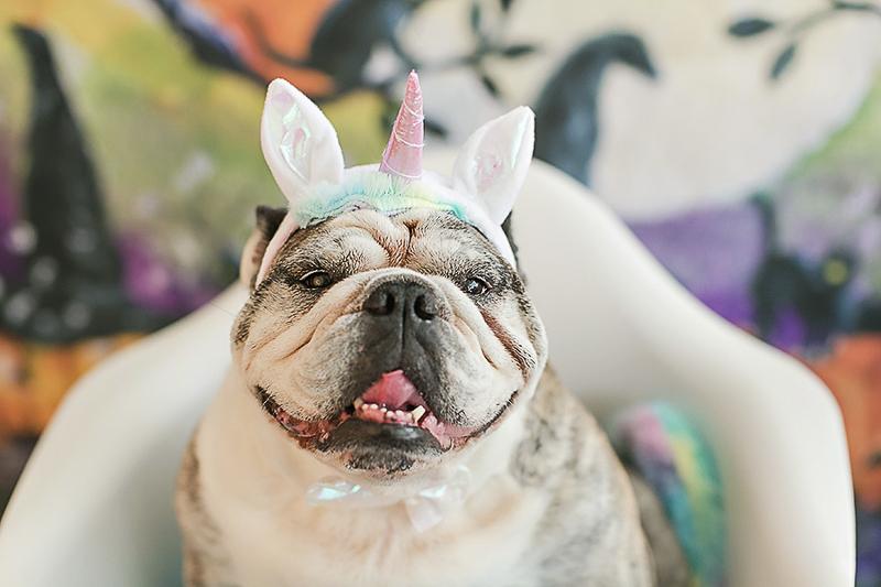 English Bulldog wearing Unicorn costume | Philadelphia pet photographer, April Ziegler Photography