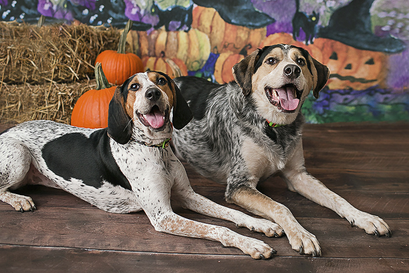 Hounds enjoying Howl-O-Ween, Halloween mini session for dogs, Philadelphia pet photographer, April Ziegler Photography
