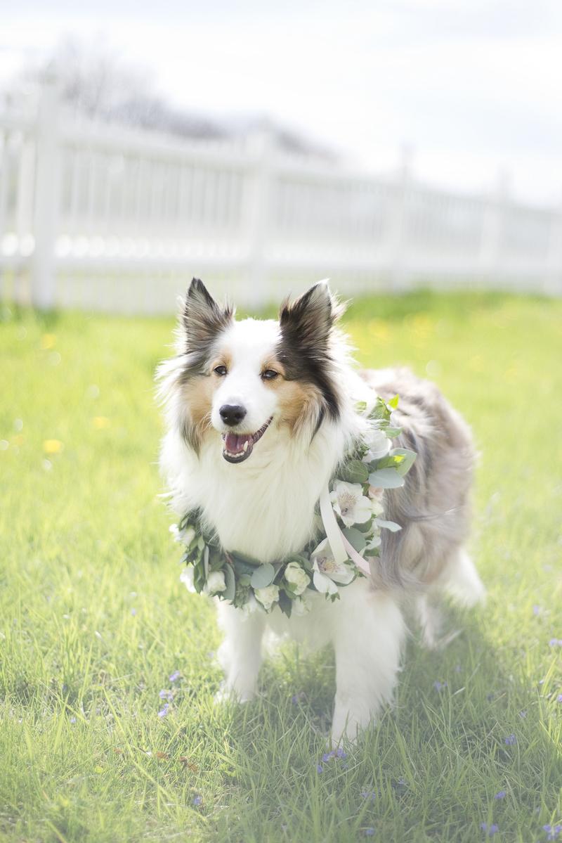 Dayton Ohio pet photography, Sheltie wearing floral wreath | ©Ashley Lynn Photography