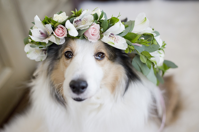 Sheltie wearing floral crown, heterochromia, ©Ashley Lynn Photography