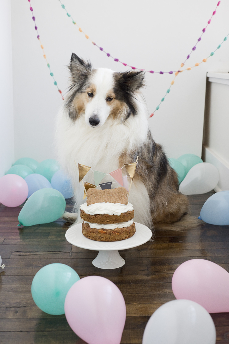 dog's birthday party, Sheltie looking at cake, ©Ashley Lynn Photography
