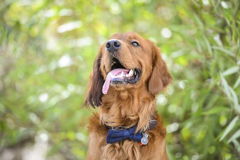 Smiling Golden Retriever wearing blue bow tie, ©CR Photography | lifestyle dog photography