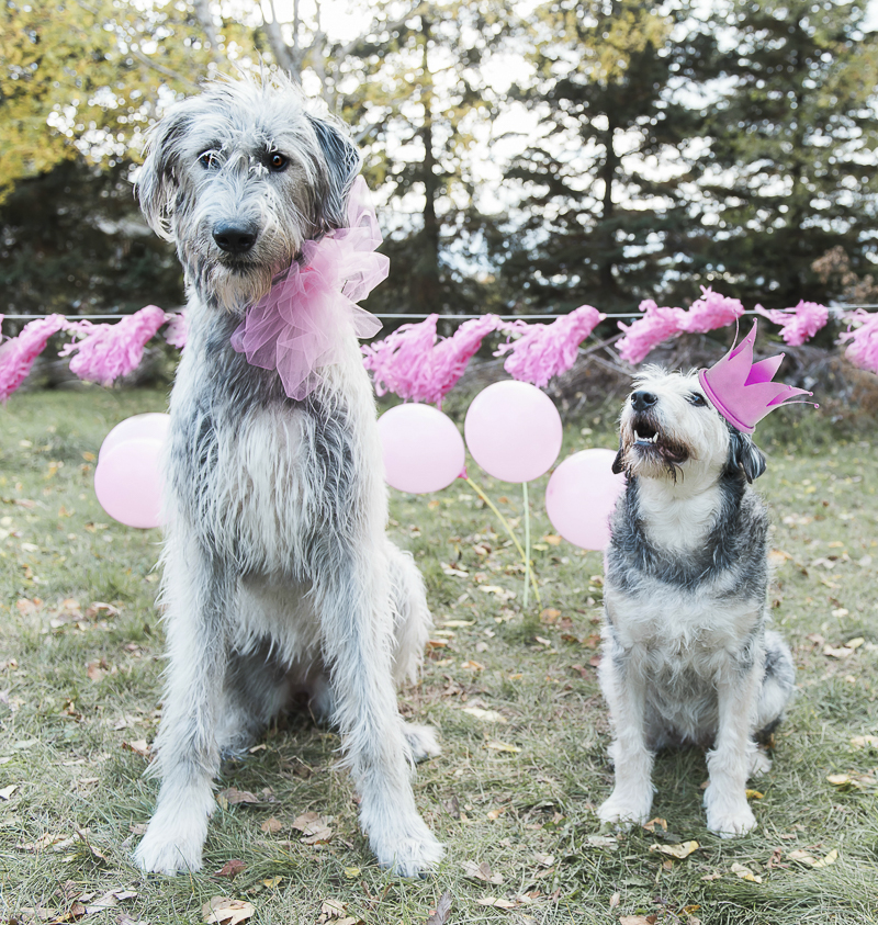 Irish Wolfhound wearing big pink bow and older mixed breed wearing pink crown, dog party ideas ©Elska Productions