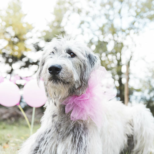 Dog Pawty:  Spaghetti the Irish Wolfhound