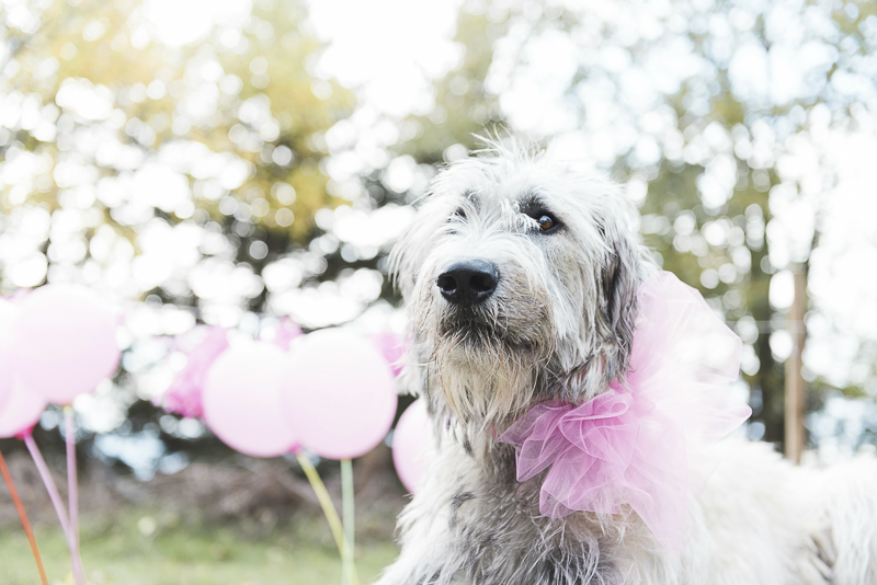 Pretty in Pink, Irish Wolfhound wearing pink bow, ideas for celebrating a dog's birthday, ©Elska Productions | dog photo shoot