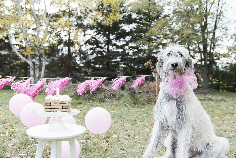 dog party ideas, Irish Wolfhound sitting next to dog bone treat, pink balloons and streamers, ©Elska Productions | Irish Wolfhound, dog photography