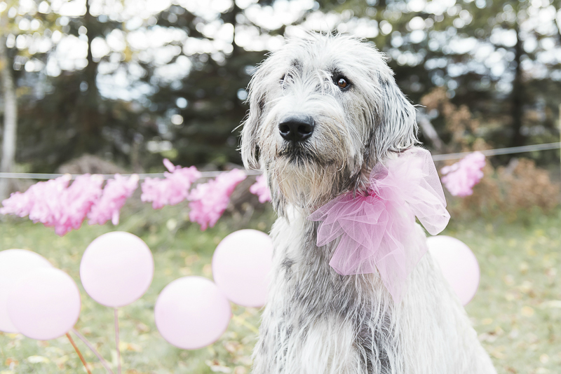 Lovely Irish Wolfhound, party for a dog, ©Elska Productions dog photo shoot