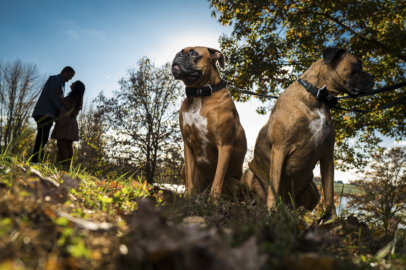 two handsome Boxers, engagement photos with dogs