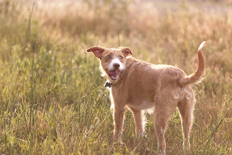 Jack Russell Terrier mix, Colorado lifestyle pet photographer | Good Morrow Photography