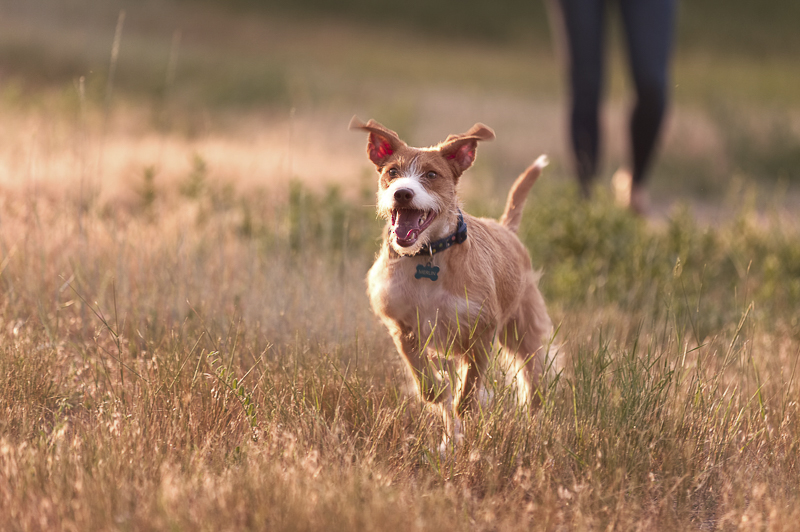 action shot, dog photography, little brown and white dog running through a field, ©Good Morrow Photography, CO lifestyle dog photography