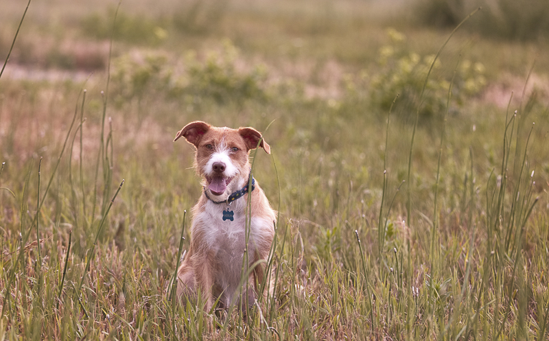 mixed breed in field, lifestyle dog portraits ©Good Morrow Photography