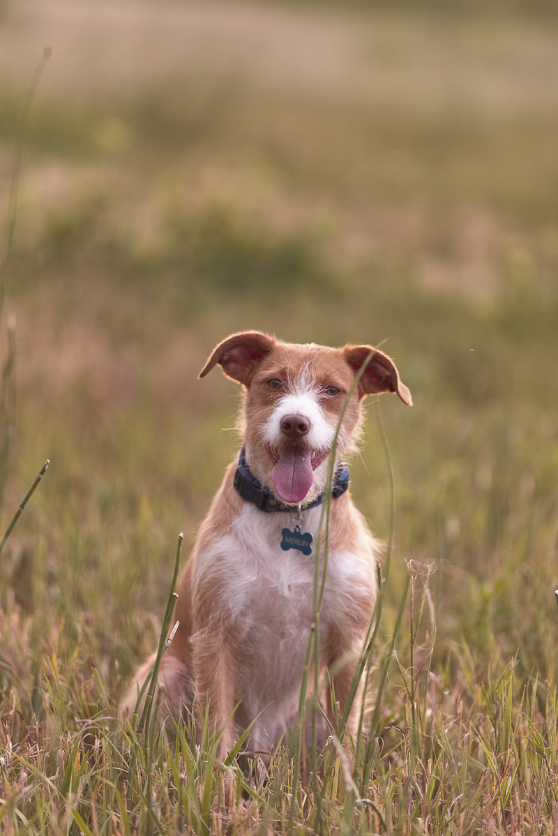 Cute Jack Russell Mix sitting in field, ©Good Morrow Photography, CO lifestyle dog photography