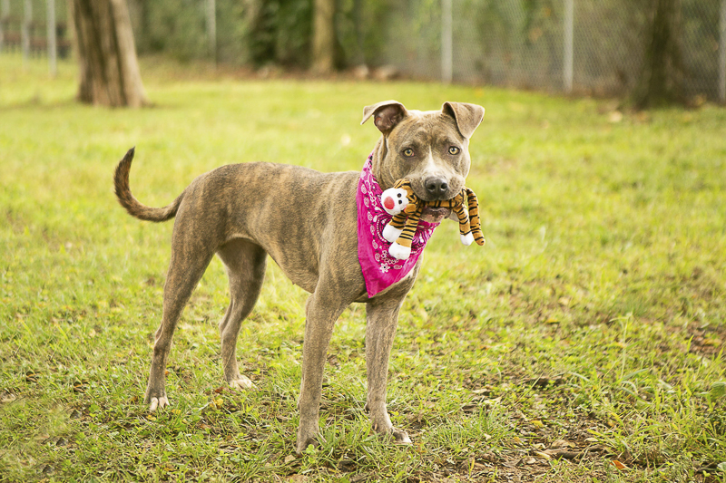 cute dog with stuffed tiger toy, Adoptable Pit bull mix PAWS, Rutherford, TN ©Mandy Whitney Photography