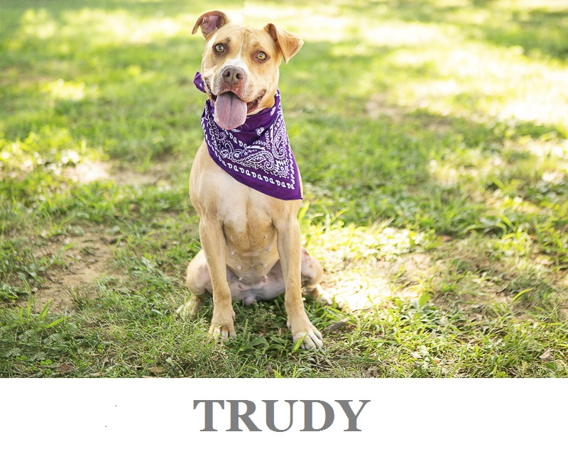 Adoptable Pit bull mix PAWS, Rutherford, TN ©Mandy Whitney Photography