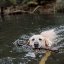Yellow Lab swimming in river