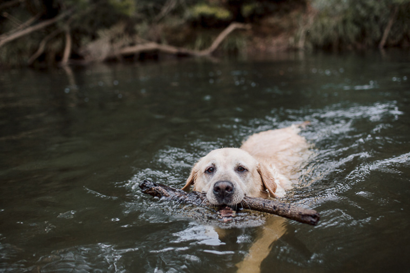 Yellow Lab swimming in river, Australia Bush country, ©Hilary Cam Photography