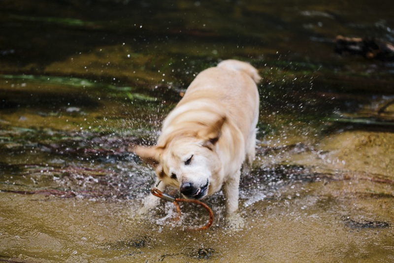 Yellow Lab shaking in river, ©Hilary Cam Photography, Sydney Dog Photography