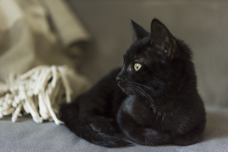 small black kitten looking off to the side ©Alice G Patterson Photography, Syracuse pet photographer