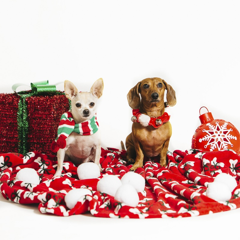 holiday photos with white Chihuahua and brown Dachshund | ©Alexa Nahas Photography, pet holiday photo booth