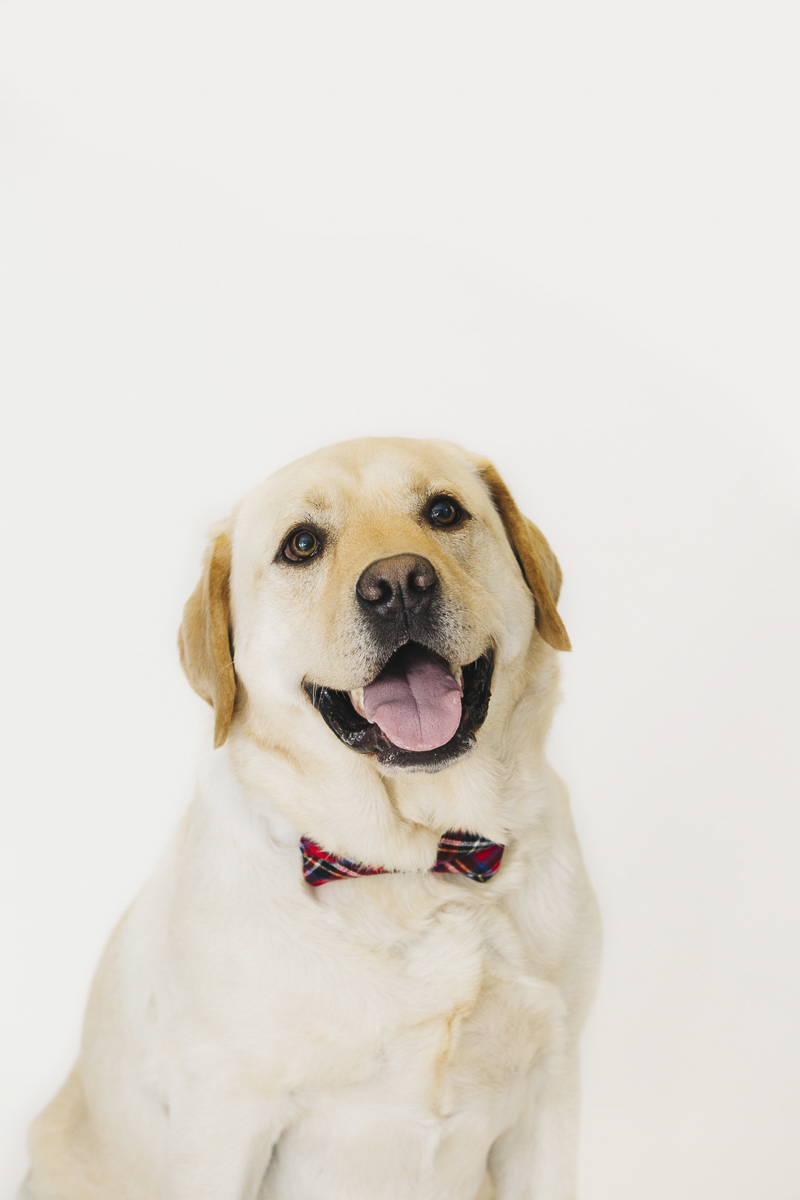 Handsome Yellow Lab wearing bow tie, Christmas card ideas, Philly mini session, ©Alexa Nahas Photography