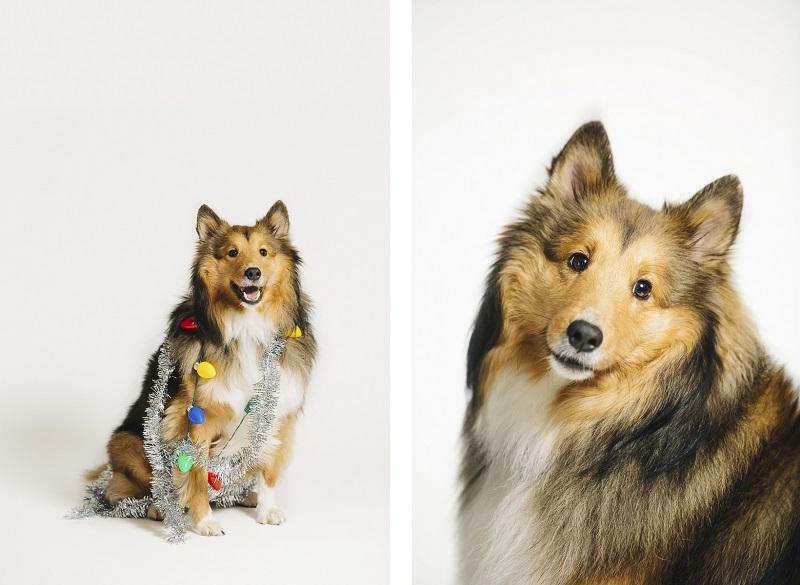 Collie studio session, Philadelphia pet photographer, Fundraiser for PAWS, ©Alexa Nahas Photography