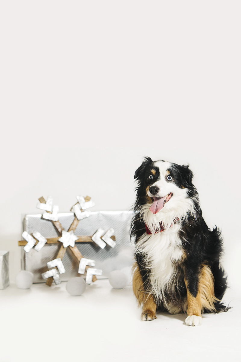 Aussie sitting next to holiday package and snowflake, ©Alexa Nahas Photography | Philadelphia pet photography mini sessions, fundraiser for PAWS