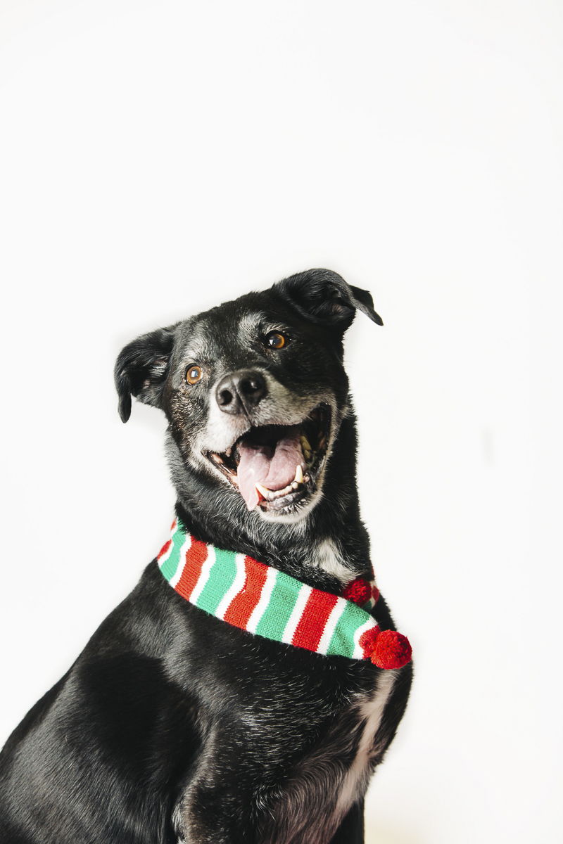Holiday photos ideas for senior dog, ©Alexa Nahas Photography