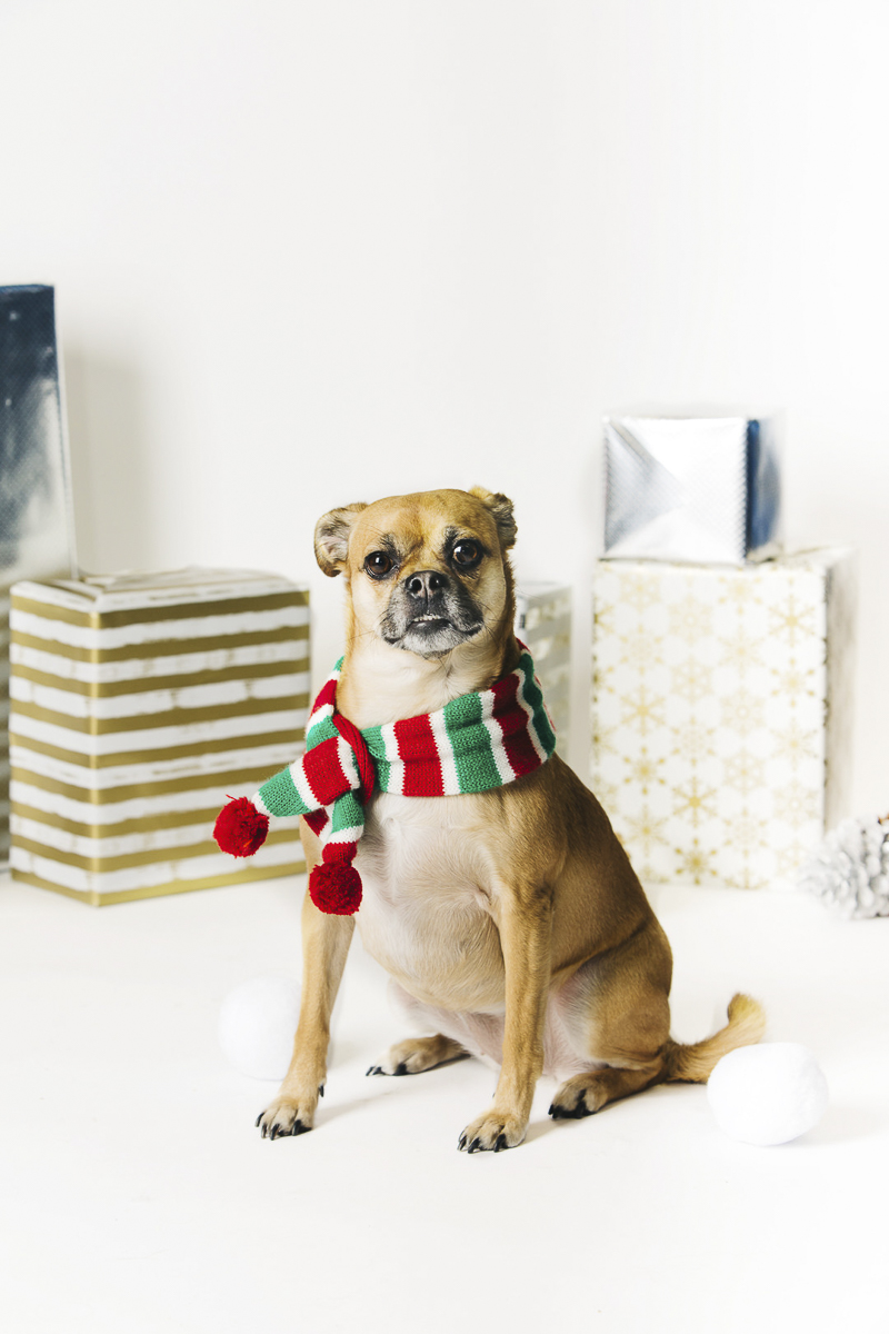 creative idea for holiday dog photography ©Alexa Nahas Photography | Philadelphia pet photography mini sessions, fundraiser for PAWS