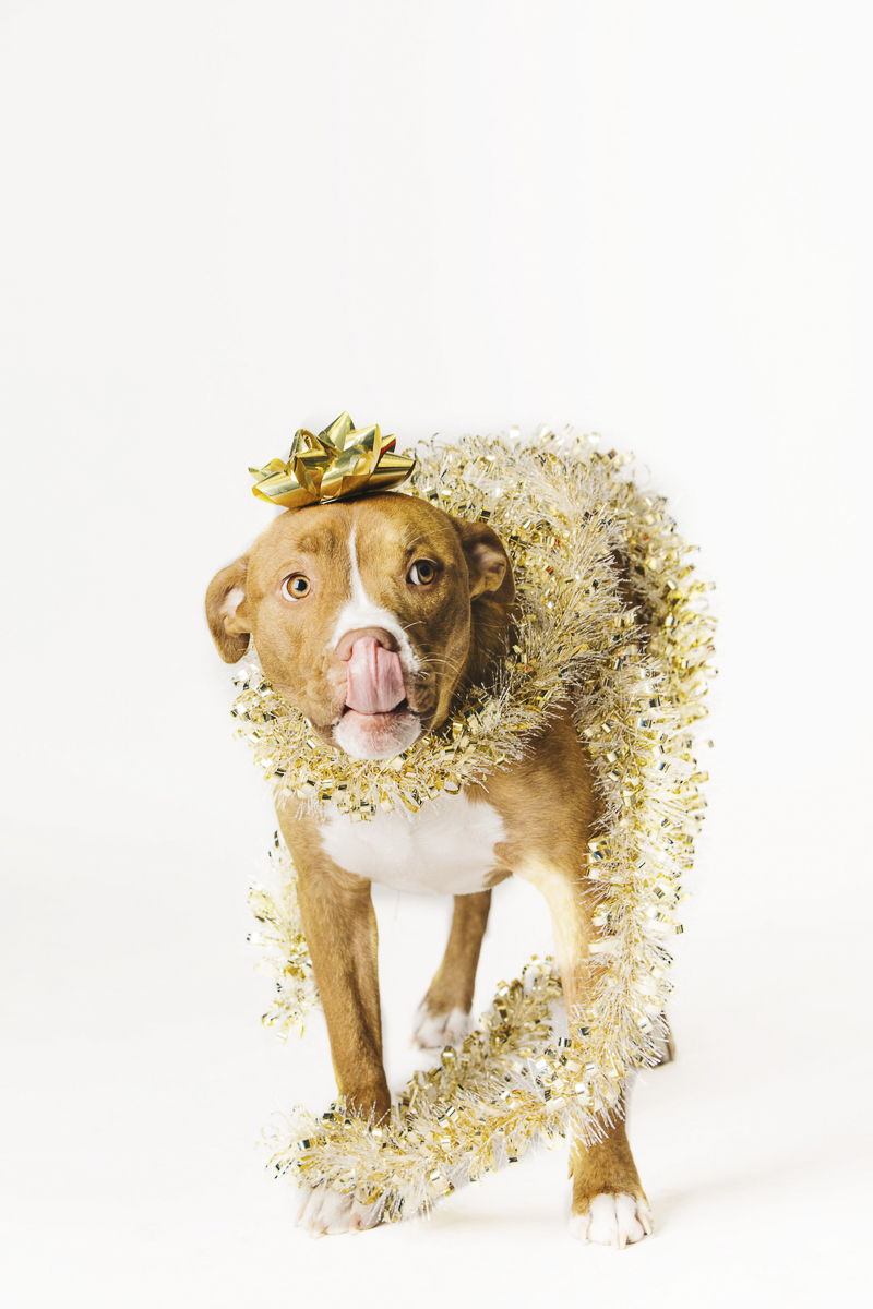 Pittie mix wearing garland and bow, holiday photos with dogs, Philadelphia pet photographer ©Alexa Nahas Photography