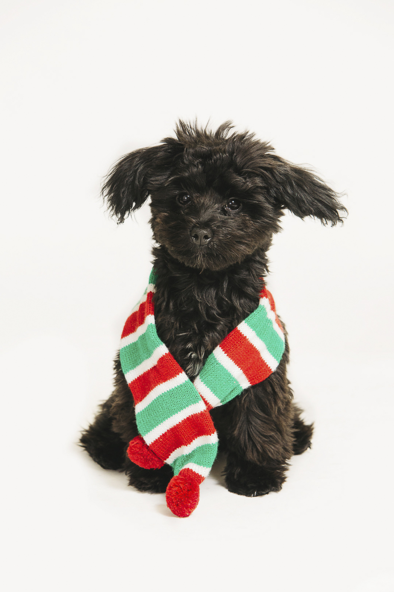 cute black puppy wearing holiday scarf, ©Alexa Nahas Photography | Philadelphia pet photography mini sessions,