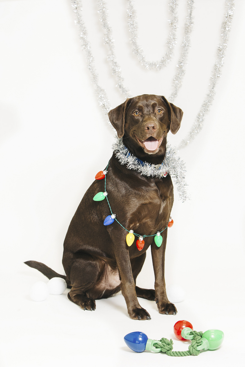 Holiday photos with Chocolate Lab, ©Alexa Nahas Photography | Philadelphia pet photography mini sessions, fundraising ideas