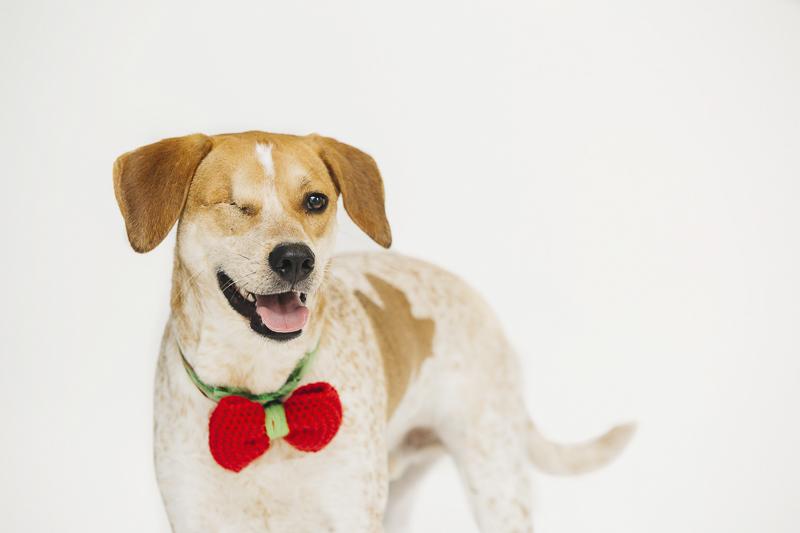 one-eyed hound mix wearing knit bow tie, Philadelphia pet photography, ©Alexa Nahas Photography