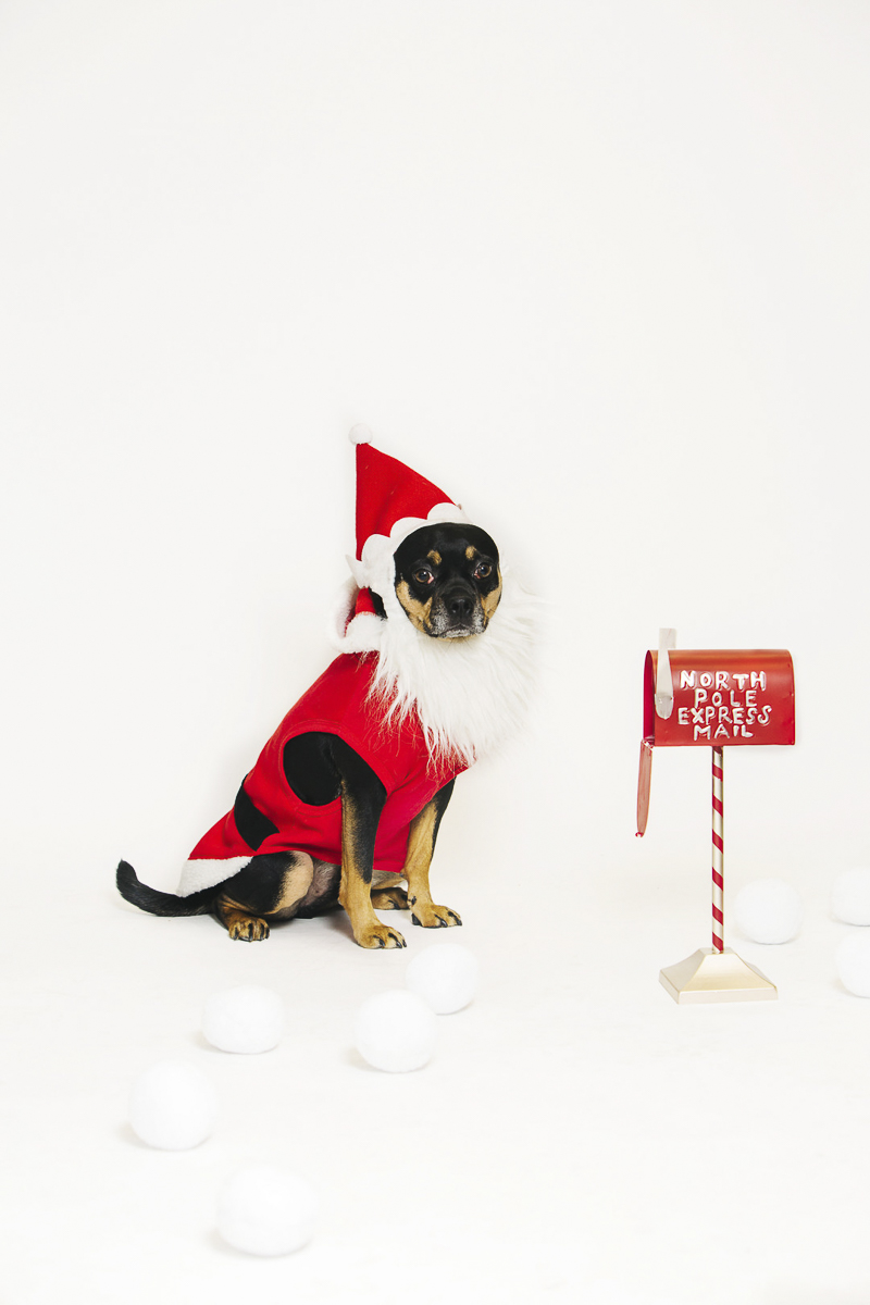 Small dog wearing Santa suit, holiday photo ideas ©Alexa Nahas Photography | Philadelphia pet photography mini sessions, fundraiser for PAWS