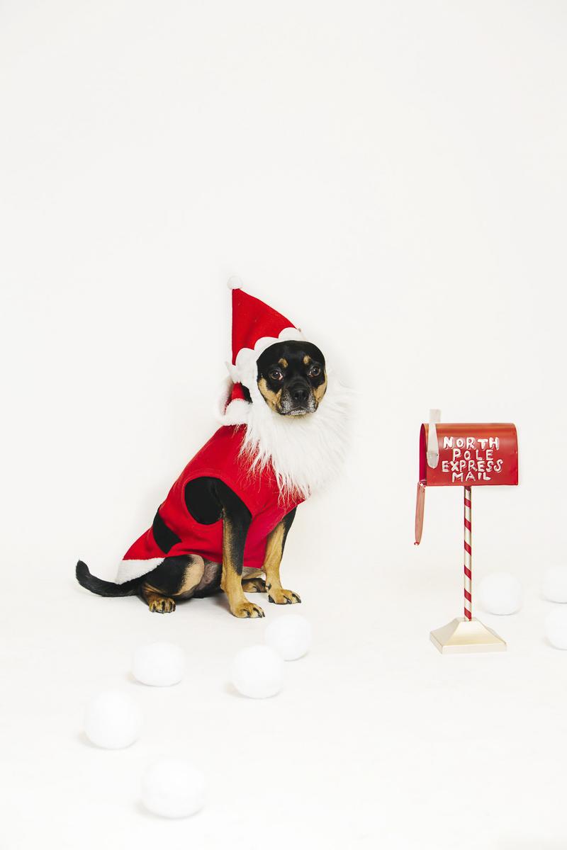 Small dog wearing Santa suit, holiday photo ideas ©Alexa Nahas Photography | Philadelphia pet photography mini sessions, fundraiser for PAWS