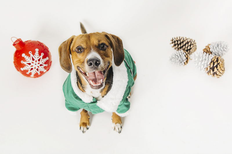 Dogs in holiday photos, ©Alexa Nahas Photography | Philadelphia pet photography mini sessions, fundraiser for PAWS