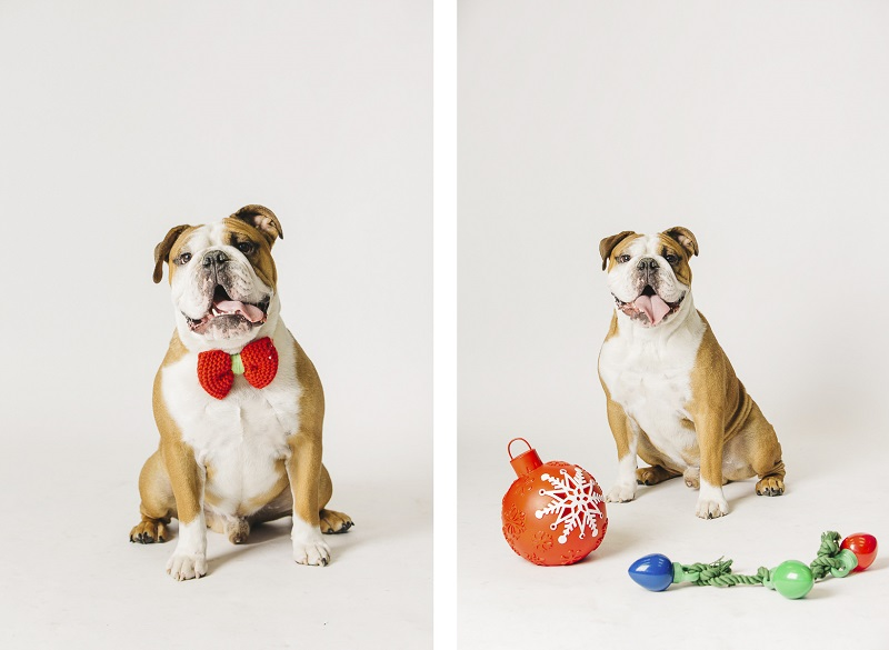 ©Alexa Nahas Photography | English Bulldog holiday photos, Philadelphia pet photographer