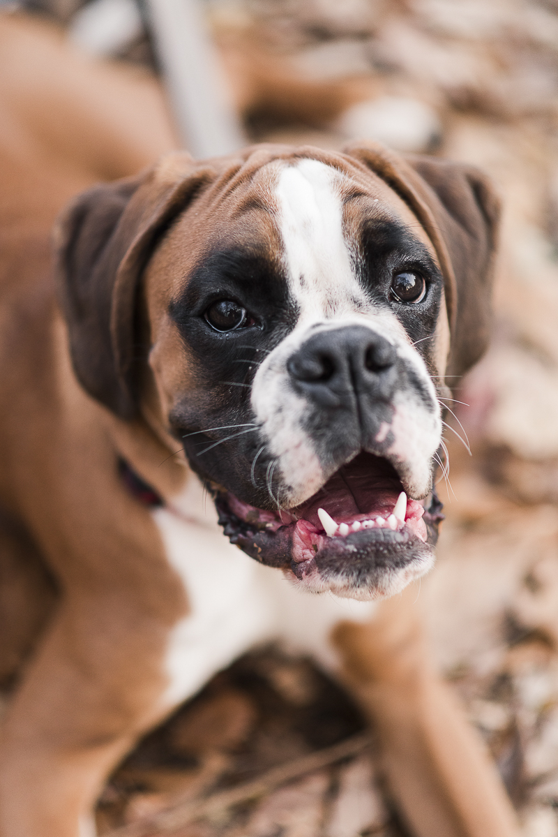 McQueen the Boxer, fall outdoor dog photography | © Britney Clause Photography