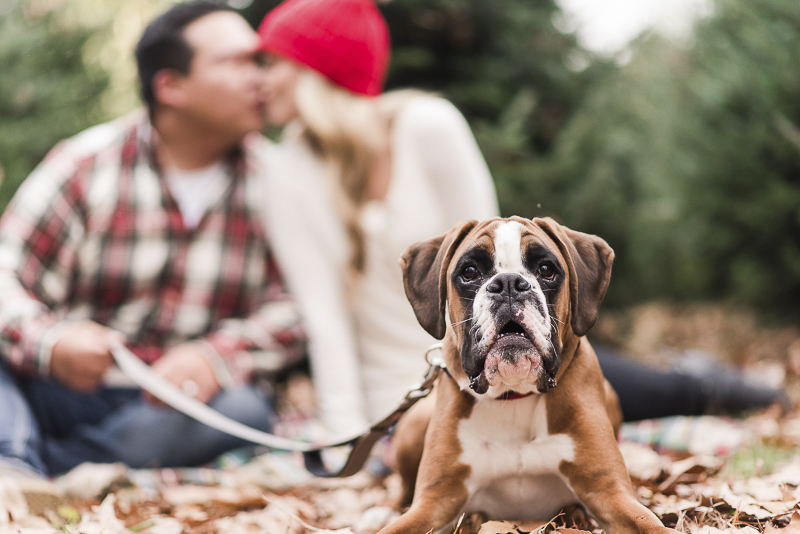 McQueen the Boxer, family holiday photos with a dog, © Britney Clause Photography