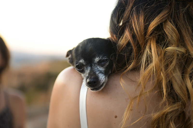 Chihuahua resting head on bride's shoulder | ©CR Photography, wedding dog