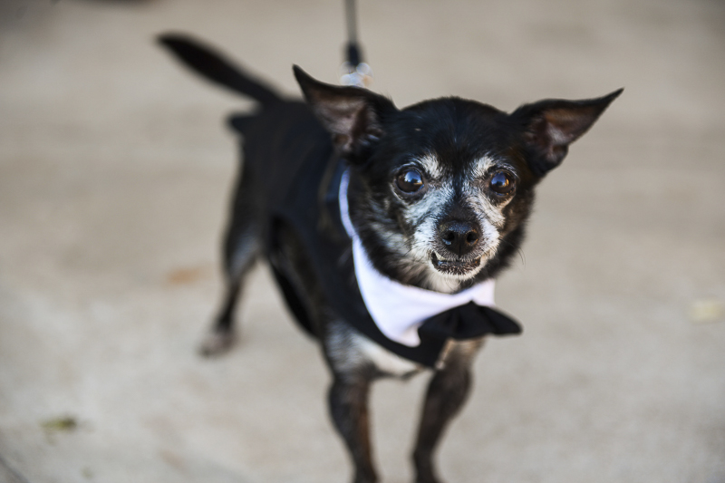 senior black Chihuahua in tux and bow tie, ©CR Photography | wedding dog
