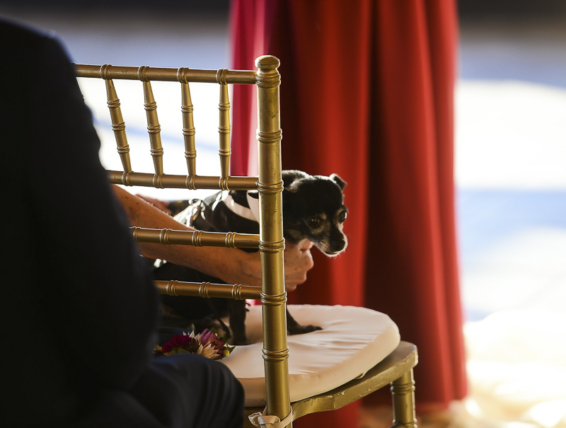 small Chi mix sitting in chair at wedding | ©CR Photography, dog-friendly wedding