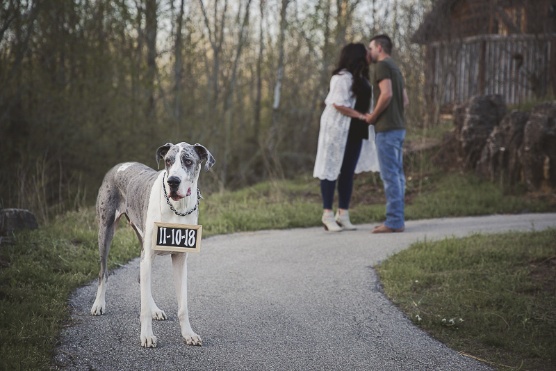 dog friendly engagement pictures, Great Dane wearing Save the Date sign, ©Irish Eyes Photography Wentzville, MO