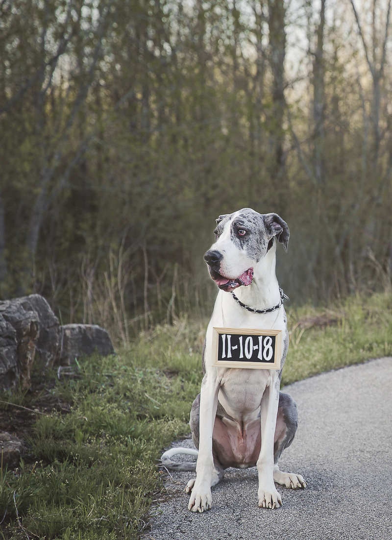 Handsome mantle merle Great Dane wearing Save the Date Sign | ©Irish Eyes Photography dog friendly engagement photos, Wentzville, MO