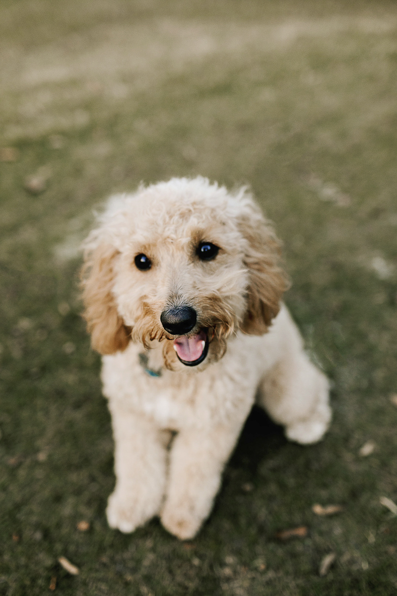 cute Goldendoodle puppy in the park, lifestyle dog photography,