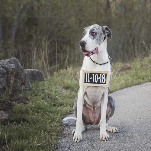 Engaging Tails:  Duke the Mantle Merle Great Dane