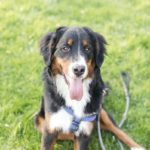 Engaging Tails:  Samson the Bernese Mountain Dog