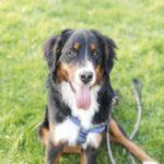 Engaging Tails:  Samson the Bernese Mountain Dog