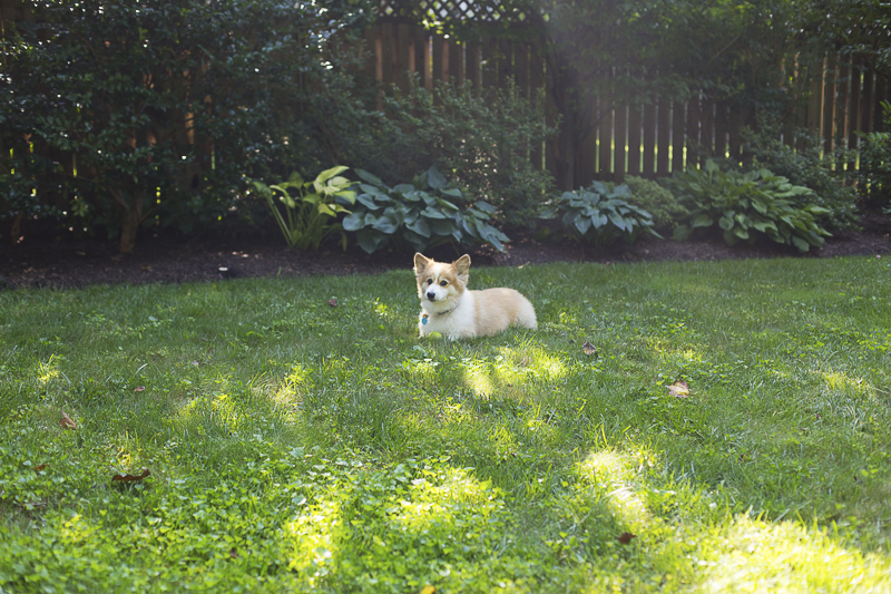 cute Corgi lying on the grass, ©Katy Murray Photography | outdoor dog portraits